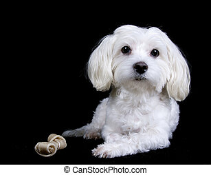 Maltese dog on black background