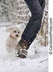 Maltese Dog running in snow on winter park