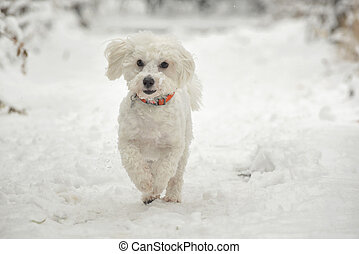 Maltese Dog running in snow
