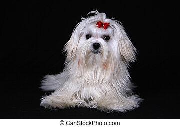 Maltese Dog sat on black background