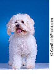 maltese dog standing in front of blue background