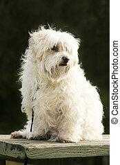 Maltese dog - White maltese dog sitting in the outdoors