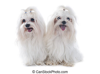 maltese dogs in front of white background