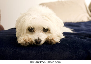 Maltese Laying Down