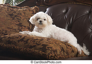 Maltese Puppy Relaxing on Her Pillow on the Couch
