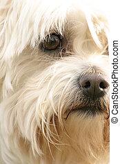 Maltese Terrier - A scruffy maltese terrier
