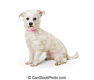Maltese Terrier Crossbreed White Dog Sitting - Cute small...