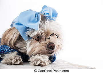 Maltese Terrier Girl - humorous image of a Maltese Terrier...