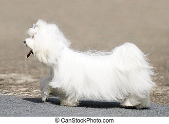 Maltese Terrier walking - Maltese Terrier dog walking over...