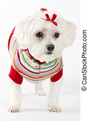 Maltese terrier wearing knitted jumper - It is believed that...