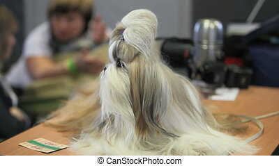Maltese - Shaggy lapdog sitting on a table and a little...