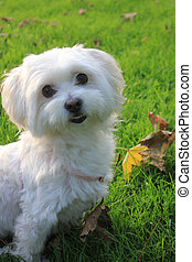 Malteser - Maltese - West Higland Terrier half-breed