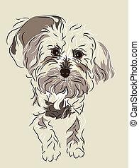 maltesisch, gemischter, junger hund, franzoesischer pudel