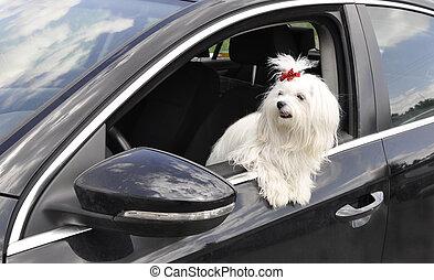 maltesisch, hund