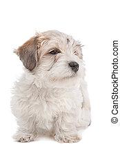Maltesisch, mischling, junger Hund, hund