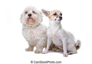 maltesisch, rasse, chihuahua, gemischter, hund
