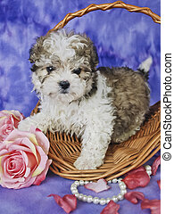 Malti-Poo Puppy - Malti-Poo puppy with pink roses, pearls,...