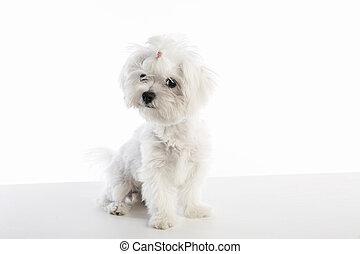 Maltichon puppy Bichon Maltese on white - Maltichon puppy...