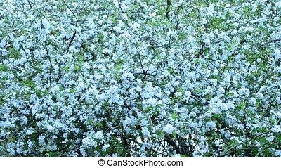 Malus domestica. White apple tree blossom fills the frame