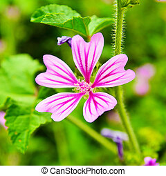 malva cathayensis flower, commonly known as the mallow