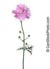 Malva flower isolated on white background
