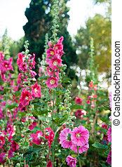 Malva flowers - Malva (Alcea rosea hollyhock) flowers in a ...