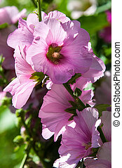 Malva. Herbaceous plant with large bright flowers.