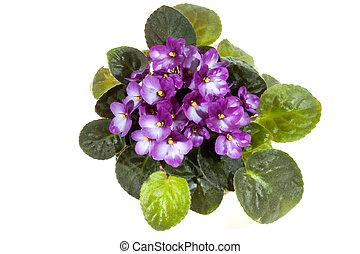malva, hojas, africano, brillante, verde, violeta