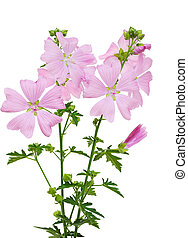 Pink Malva moschata Musk Mallow flower isolated on white background