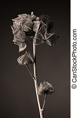 Malva moschata seed capsule, tinted image, vertical format