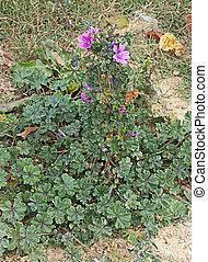 malva, officinal plant - spontaneous flora with violet ...