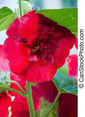 Malva Red - Malva flower family Malvaceae