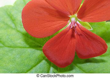 Malva - Red malva flower