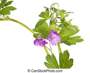 malva, sylvestris, 植物