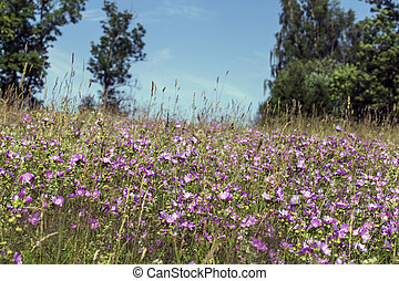 Malva sylvestris is a species of the mallow in the family of...