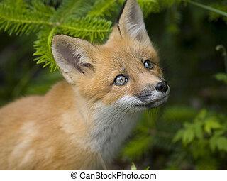 mamífero, g, raposa vermelha