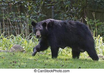 Mama Black Bear in the Yard - A large, alert, lactating mama...