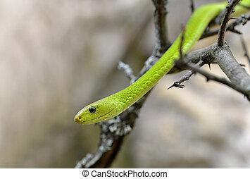 mamba, grün, viridis), (dendroaspis, westlich