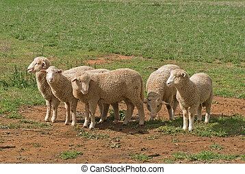 mammal - 5 young lambs in a rural paddock close-up