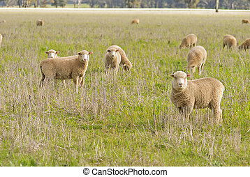 mammal - a close-up of young lambs in a pasture