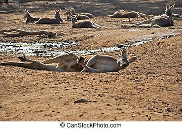 a kangaroo laying on the ground