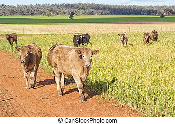 mammal - a mob of young cows moving through a lush grass...
