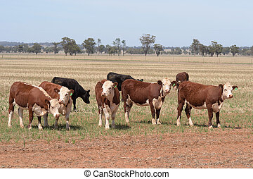 mammal - a small mob of eight cattle standing in a grass...