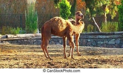Mammal Animal Camel