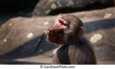 Mammal Animal Chimp