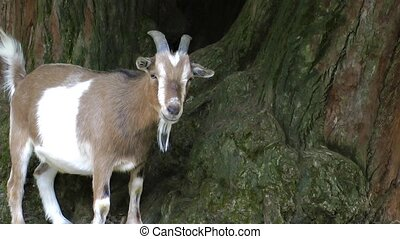 Mammal Animal Goat