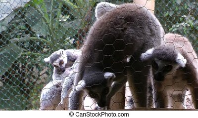 Mammal Animal Lemur Family in a Zoo