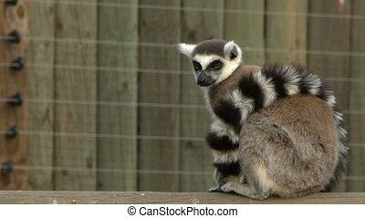 Mammal Animal Lemur in Zoo in Nature
