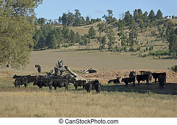 mammal - a herd of cattle standing in a farm paddock