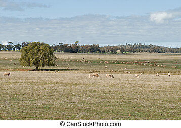 mammal - ewes and lambs grazing on farm pasture